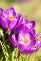 close-up of crocuses