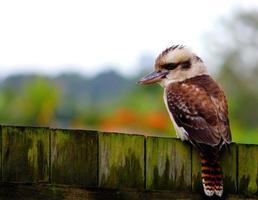 Kookabura sitzt auf Zaun