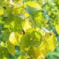hojas de uva, primer plano foto