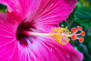 Scarlet hibiscus, close up
