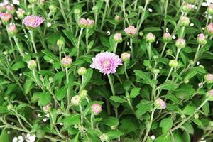 Chrysanthemum bush close up