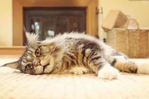 lazy cat, lying, relaxing, close up photo