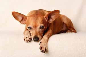 Miniature pinscher relax