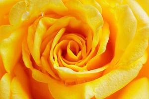 Beige rose close up