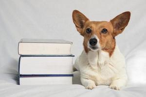 corgi marrom e branco com livros didáticos