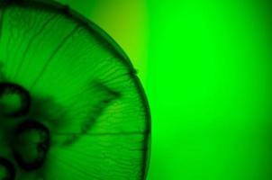 close-up de água-viva