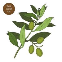 Green Olive Tree Branch Design vector