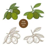 Olive Tree Vintage Hand Drawn Design Set  vector