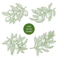 Olive Tree Branch Sketch Set  vector