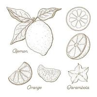 Hand Drawn Citrus Fruit Drawings Set  vector