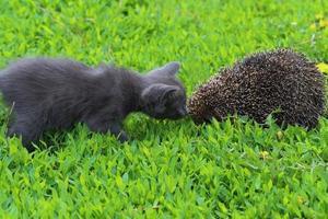 Kitten and hedgehog