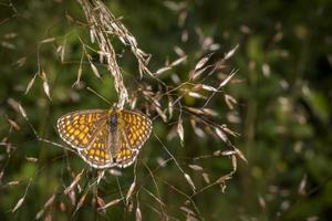 The High Brown Fritillary