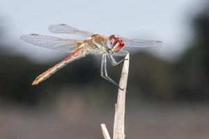 el dropwing veteado de rojo, trithemis arteriosa foto