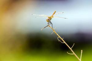 el dardo de alas amarillas foto