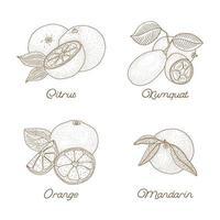 ensemble d'agrumes dessinés à la main vintage