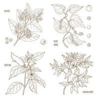 conjunto de especias aromáticas de pimienta vector