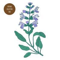 dessin botanique vintage sauge