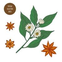 Star Anise Vintage Botany Drawings vector