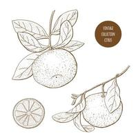 Citrus Fruit Vintage Set