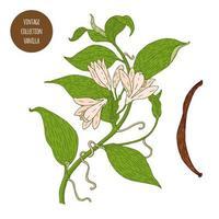 Diseño de botánica vintage de planta de vainilla vector