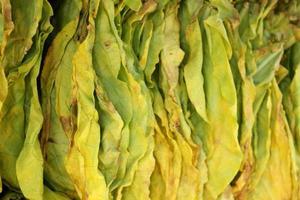 folhas secas de tabaco