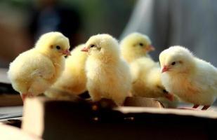 Little yellow chicks photo