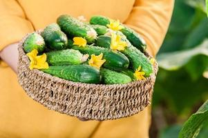 Young woman holding a basket full of fresh cucumbers