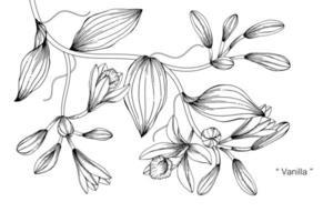 flor de vainilla y diseño botánico dibujado a mano vector