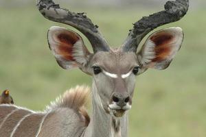 Kudu male photo