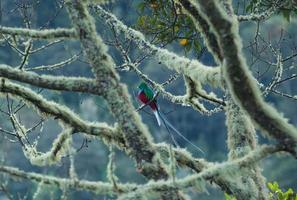 macho de quetzal foto