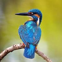 männlicher Eisvogel