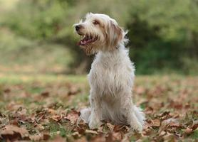 Male catalan shepherd dog photo