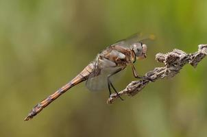 Orthetrum brunneum, immature male