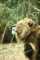 león macho soñando con la libertad foto
