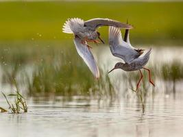 Two Male Common Redshank fighting