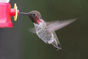 colibrí annas macho (calypte anna) foto