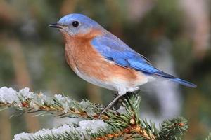 bluebird oriental masculino na neve