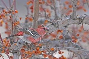 Male Pine Grosbeak in Crabapples