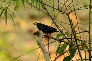 male Golden-crested Myna (Ampeliceps coronatus) photo