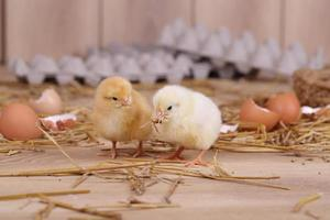 yellow and white chickens photo