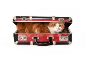 gato sênior, se escondendo em uma mala pequena