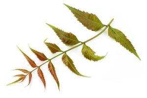 tiernas hojas de neem foto
