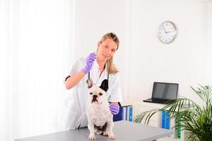 cheerful young veterinary taking care of pet dog french bulldog