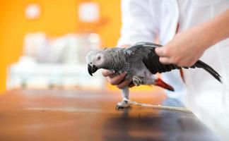 examen y diagnóstico de loro gris africano en veterinario foto