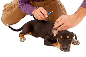 Puppy Getting Microchipped photo