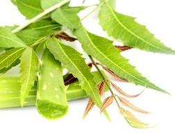 hojas medicinales de neem foto