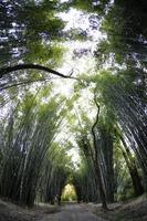 jungle de bambous
