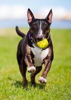 Engelse bull terrier-hond die een bal draagt