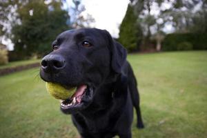 labrador preto segurando uma bola de tênis