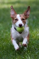 small mixed breed dog retrieving tennis ball photo
